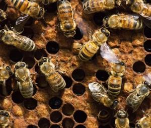 Você é o que você come? Este ditado é bem adequado para as abelhas