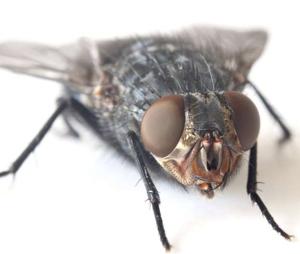 Por que é tão difícil pegar uma mosca